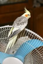 Nimfa papagájoknak