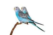 Hullámos papagájoknak