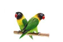 Agapornisz papagájoknak