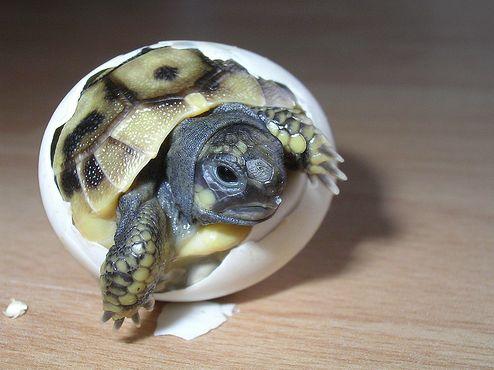 Szárazföldi teknősöknek
